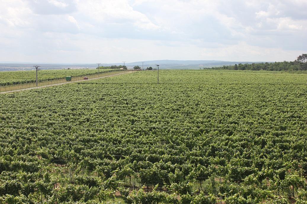 Vinice vinařství Lahofer nedaleko Znojma