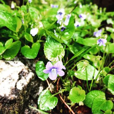 Aho-orvokissa on pienet sinisenvioletit kuvat ja se on muutenkin kovin pieni