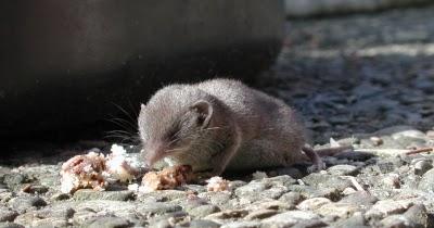 mäuse krankheiten symptome