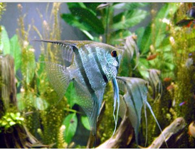 Angelfish air tawar