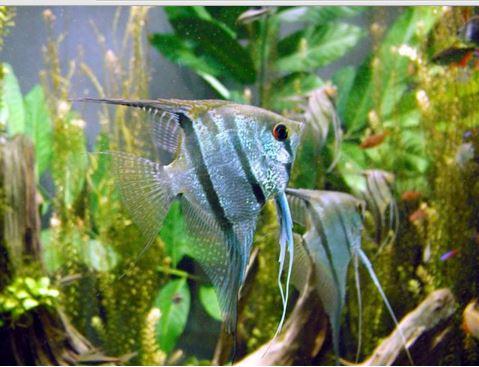 Mengenal Keunikan Ikan Hias Angelfish