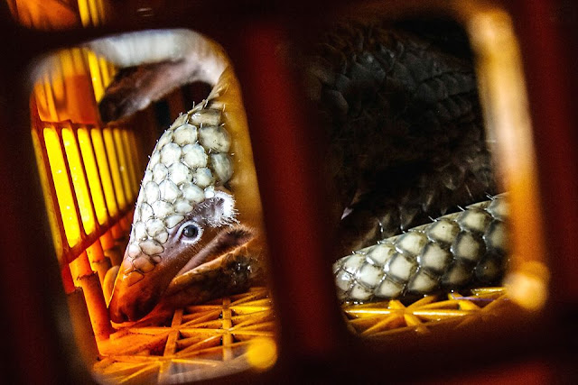 No trade, no killing! Some 223 smuggled pangolins tracked down in Indonesia