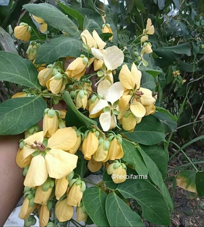 Bunga Ki Simeut atau Kembang Simeut, Salah Satu Alternatif Sayuran Bunga