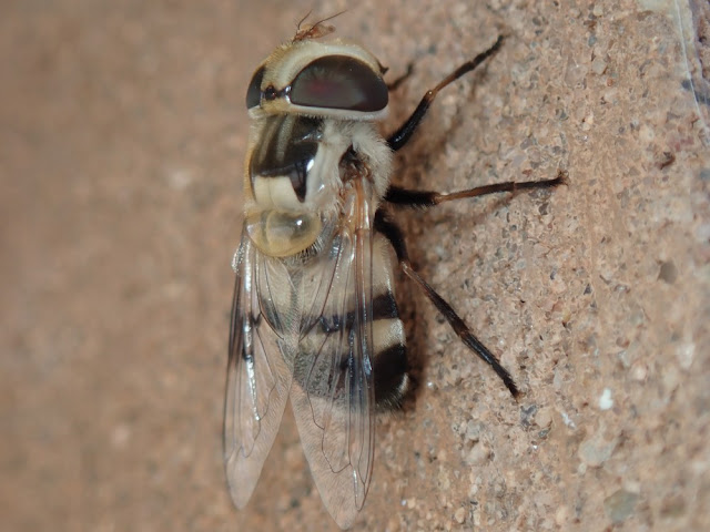 Copestylum apiciferum