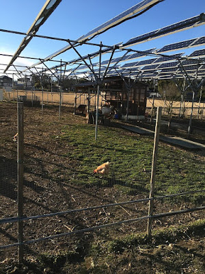 Solar sharing with solar panels and a chicken and blue sky. Japan.