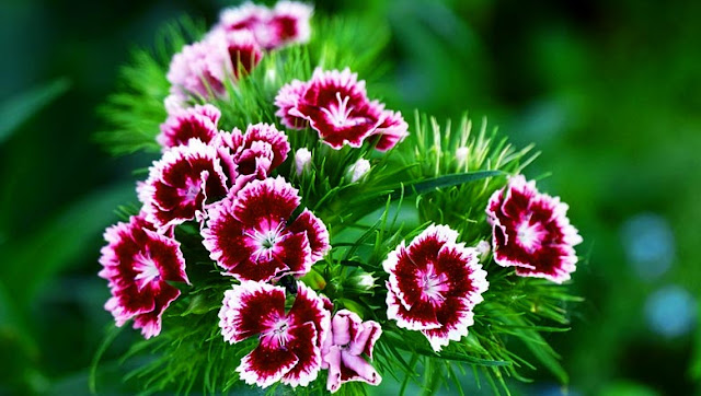 Carnation: planting, cultivation and maintenance
