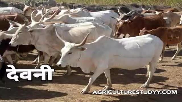 देवनी नस्ल की गाय के बारे में पूरी जानकारी