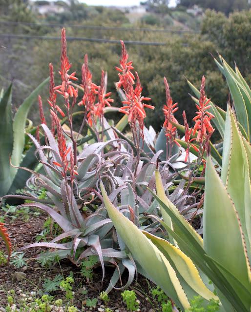 Agave acutissima in the landscape