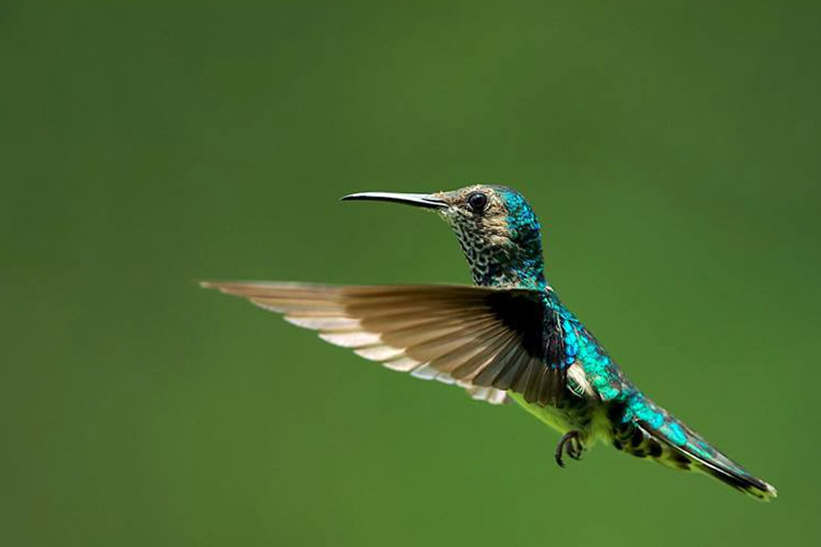 images of free hummingbird screensaver and wallpaper calto