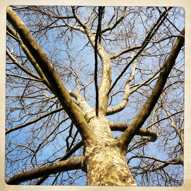 Sycamore-Tree-in-Farmingdale-Springtime