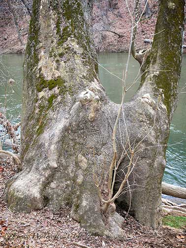 tree trunk by river