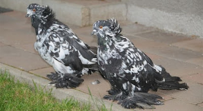 muffed hungarian pigeons