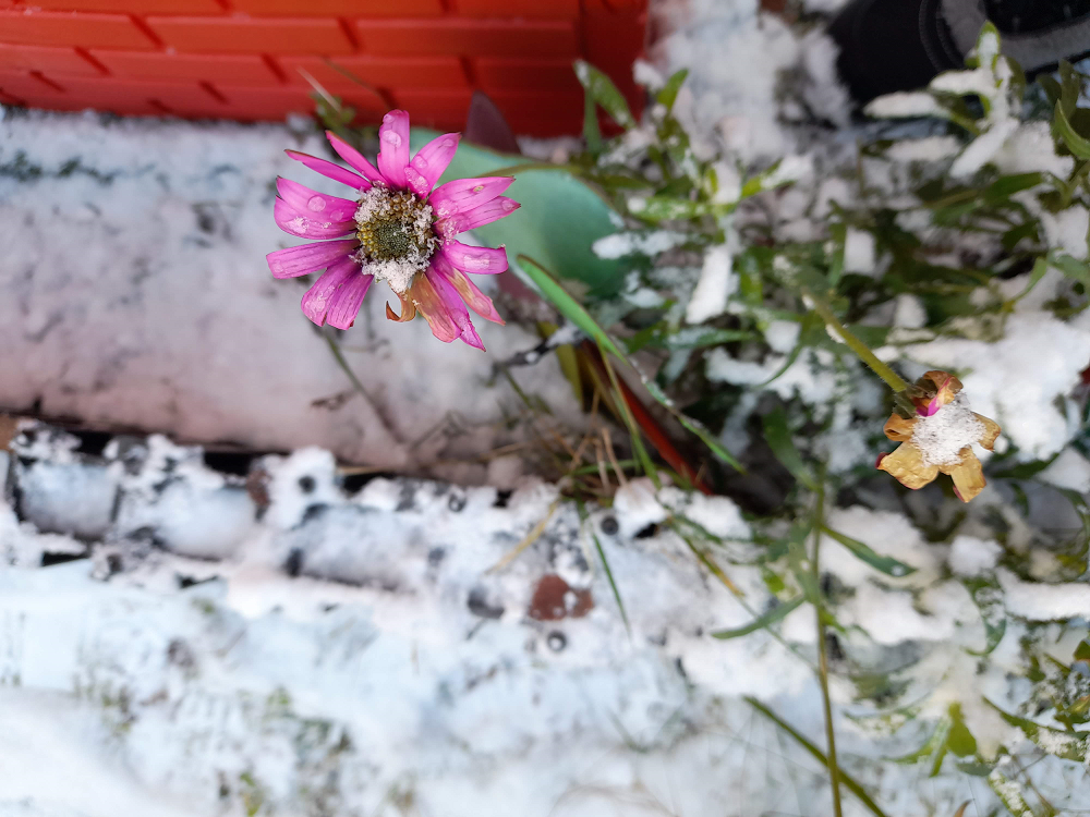 Pink flower in the snow
