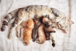Cara Membantu Kucing Melahirkan dan Hal-Hal yang Harus Diperhatikan