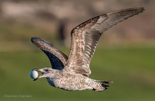 Birds in Flight Photography: Confused Seagull Woodbridge Island