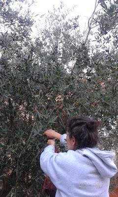 Come funziona la raccolta delle olive a mano