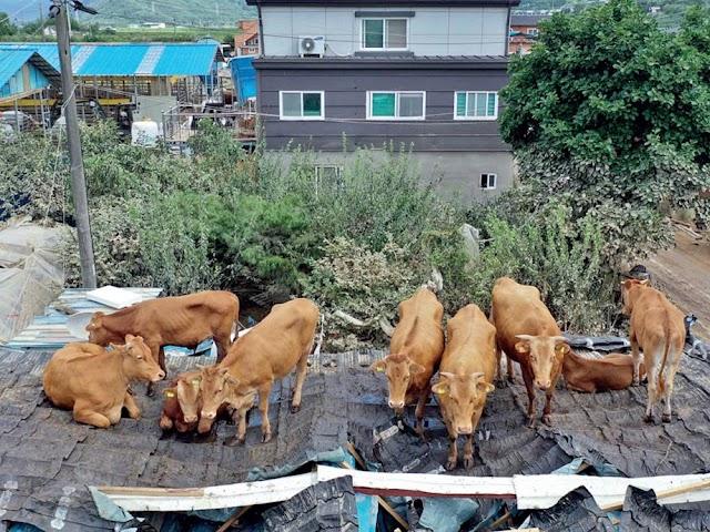 كيف صعدت الأبقار على أسطح المنازل البسيطة في كوريا الجنوبية ؟؟!!