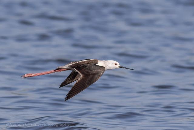 Black-winged stilt in flight Woodbridge Island, Milnerton