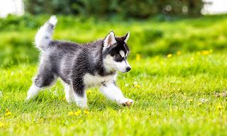 malamute alaskan puppy