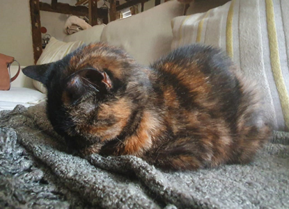 tortoiseshell cat with face buried in blanket