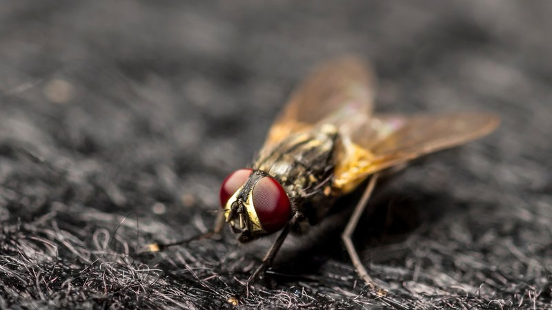 House Fly Diseases, Types, Spread and Prevention ~ TLCCRM YOUTH