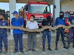 Tangkap Sanca 7 Meter, Damkar Parepare : Pertama Kali Tangkap Sebesar Ini