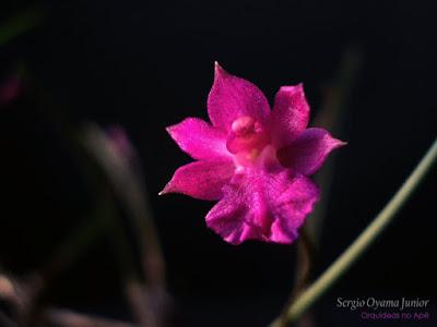 Orquídea Isabelia pulchella