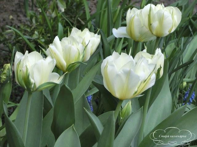 тюльпан Exotic Emperor,  тюльпаны, сад, цветник, тюльпаны в саду, сорта тюльпанов, фото тюльпанов