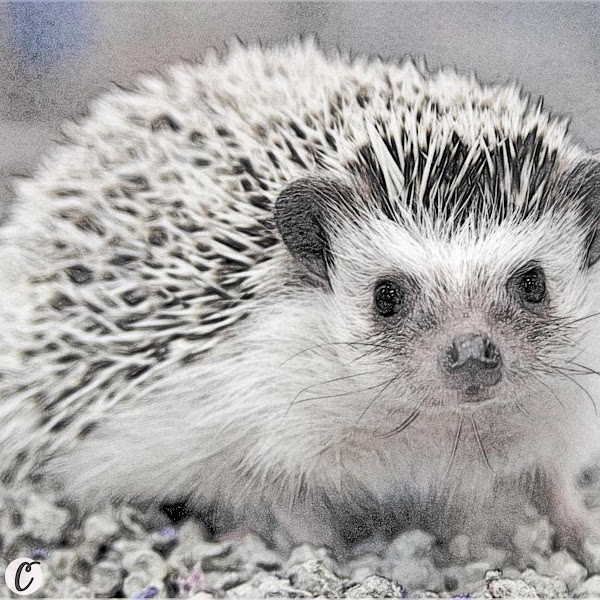 Hedgehog 🦔