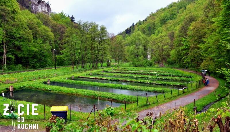 stawy rybne, pstrag, hodowla pstraga, hodowla pstraga potokowego, ojcow, ojcowski park narodowy, pstrag potokowy, blog, zycie od kuchni