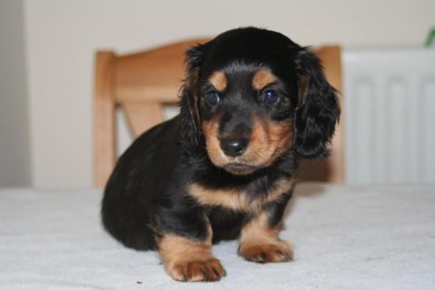 Cute Puppy Dogs Long Haired Miniature