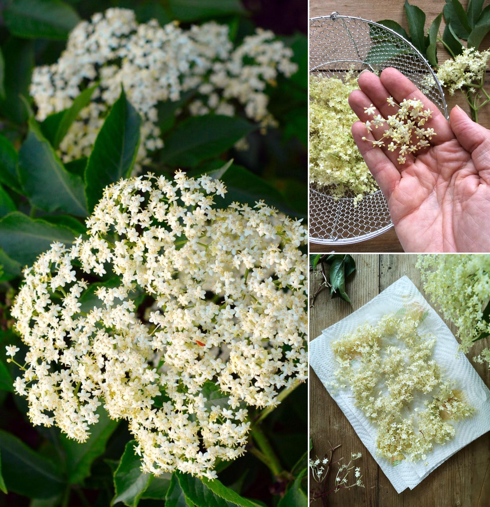 ricette con i fiori di sambuco