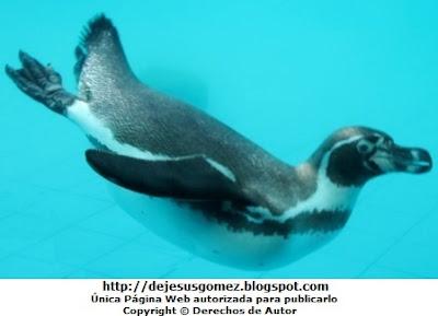 Foto de un pingüino desplazándose dentro del agua (Fíjense como coloca sus patas) - Parque de las Leyendas por Jesus Gómez