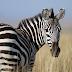 Apa warna sebenar kulit zebra?