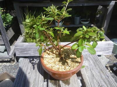 ツツジ 鉢植え