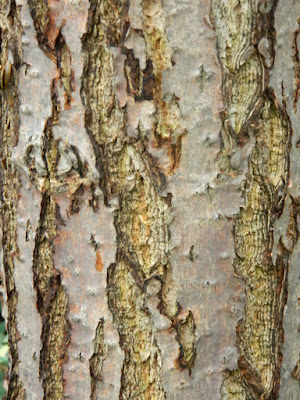 Amur Cork Tree (Phellodendron amurense) bark at the Toronto Botanical Garden by garden muses-not another Toronto gardening blog