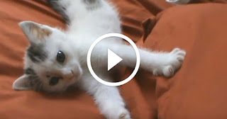 Cute Sleepy Kitten Wants Some Kisses and Belly Rubs