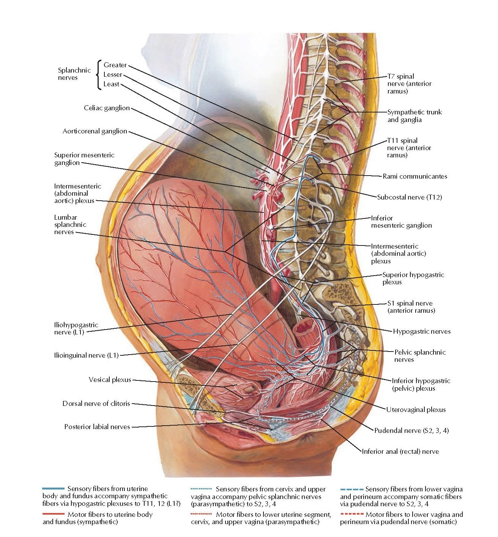 Neuropathways in Parturition Anatomy
