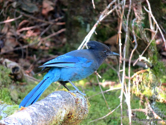 Blue bird at the Mendenhall Glacier.
