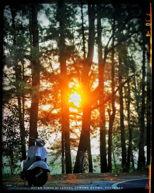 Hutan Pinus Lereng Gunung Bromo Tosari Pasuruan