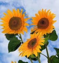 bunga matahari lambang cinta kasih