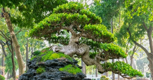 Bonsai on the Rock