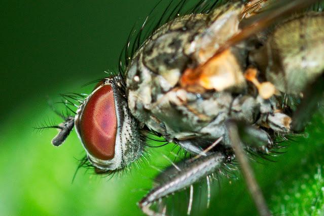 Der Kopf einer Fliege