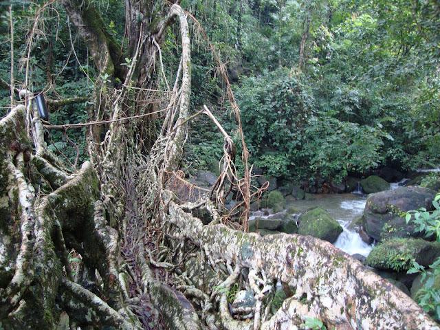 Living Root Bridge,Shillong