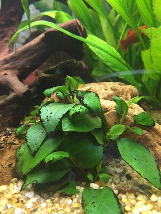 Lá của cây ráy thủy sinh rất dễ bị dính rêu hại
