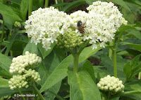 Parisitic tachinid fly on Swamp milkweed - © Denise Motard