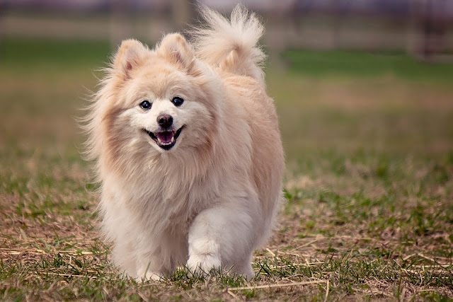 How to Take Care of a Pomeranian Dog - RictasBlog