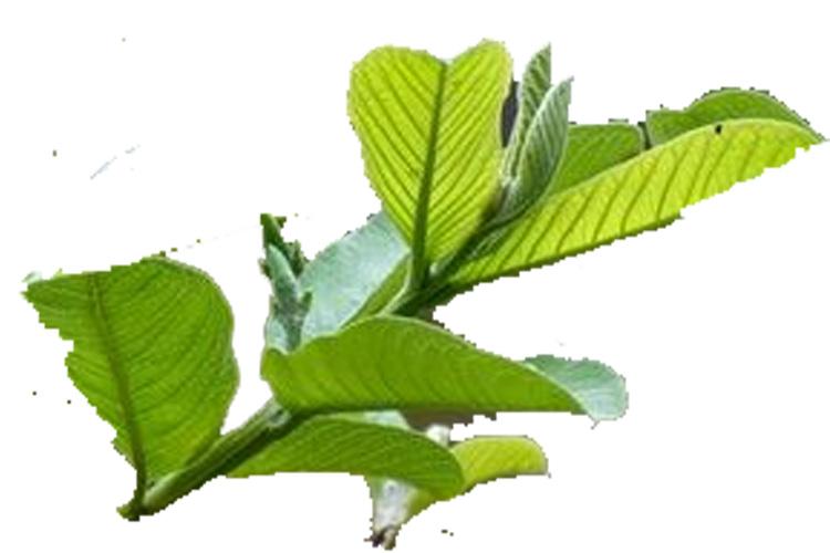 daun jambu biji muda untuk obat diare