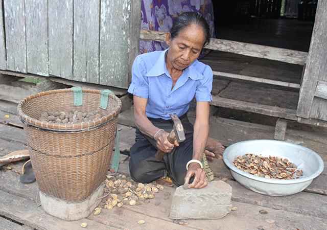 Sơ chế hạt Ko Nia sau khi nhặt từ rừng về