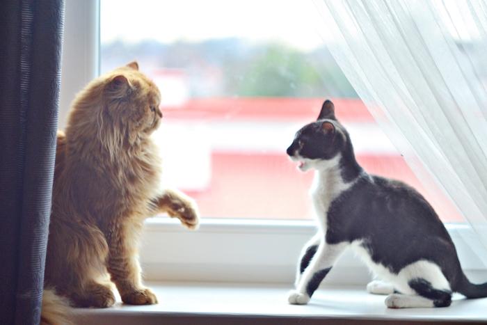 kot, koty, rudy kot, czarny kot, okno, pers, perski kot, cat